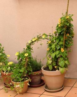 Petits pots de grimpantes fleuries
