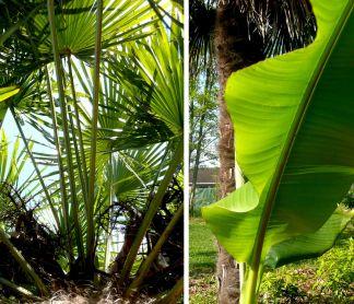 Jeux de feuillages (palmier et bananier)