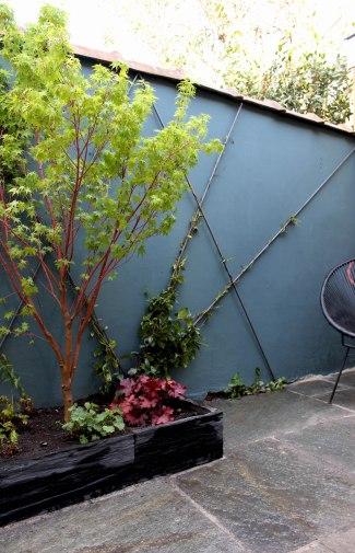 Acer palmatum 'Senkaki', Thrachelospermum jasminoides, Heuchera 'palace purple'