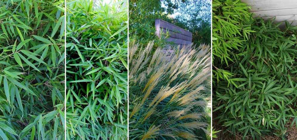 Bambous & Miscanthus